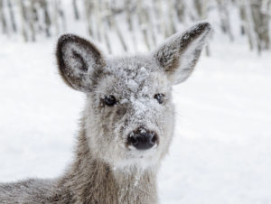 Whitetail Fawn Snowy Face